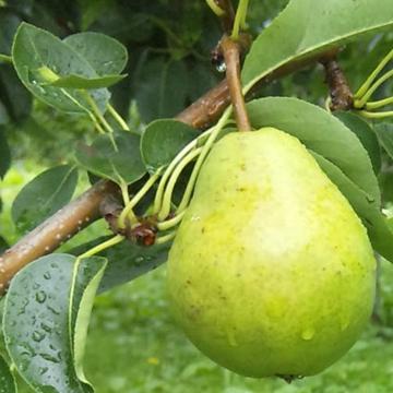 Picture of Aplex Japanese Hokkaido Pear